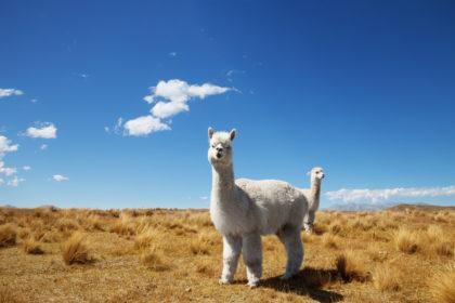 Nowa Zelandia. Zwierzęta prawnie uznane za istoty czujące