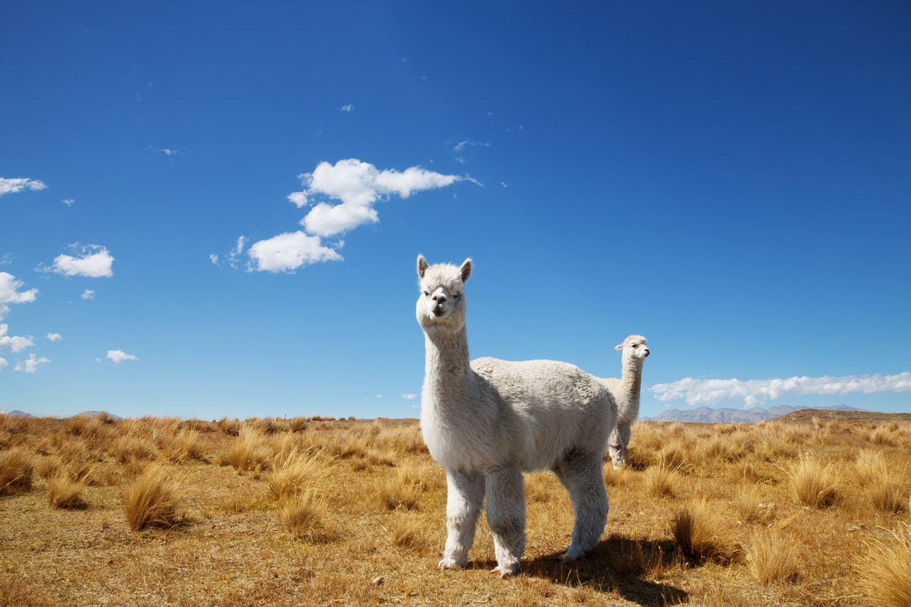 Nowa Zelandia. Zwierz臋ta prawnie uznane za istoty czuj膮ce